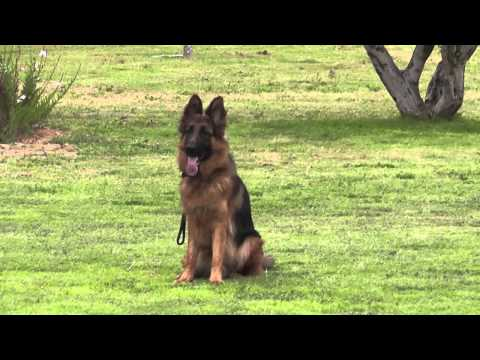 German Shepherd dog in Israel