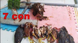 Chim Ưng Săn Mồi Bắt Cò Dễ Như Ăn Kẹo - Hunting with Besra Sparrow hawk