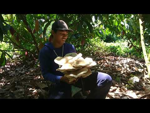Tak semua jenis jamur kayu tidak dapat dikonsumsi. Ada beberapa jenis diantaranya yang aman dan dapa.