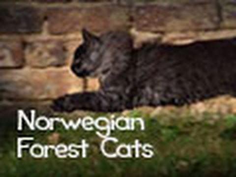 Norwegian Forest Cats: Beauty and Elegance