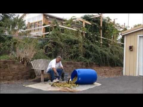 Black walnuts -cleaning and storing 9-29-14  (part 2 of 2)
