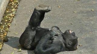 二本足で走る姿、足を上げて寝ころぶ様子、ひもで遊ぶ様子、ケンカ、胸...