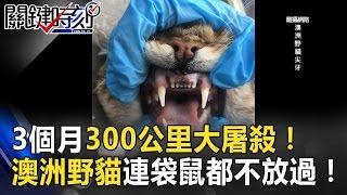 3個月300公里大屠殺!澳洲野貓「尖牙」連袋鼠都不放過! 關鍵時刻 20170328-5 朱學恒 王瑞德