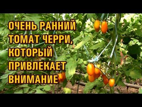 Очень ранний томат черри. Привлекающий внимание товарным видом.
