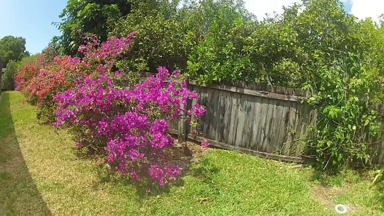 lanai and backyard bougainvillea youtube