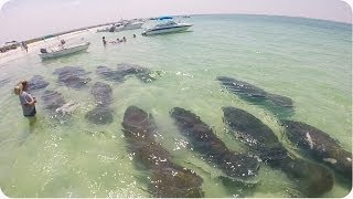 Heard of Manatees Swims By  Amazing Sea Cow Footage