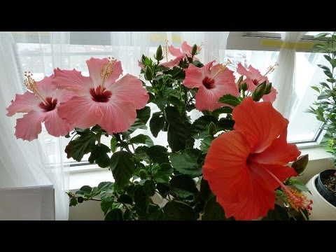 Tips On Hibiscus House Plant Care Placing Watering Pests