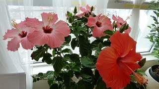 Tips On Hibiscus House Plant Care, Placing, Watering, Pests, Fertizing, Pruning, Soil, and Repotting