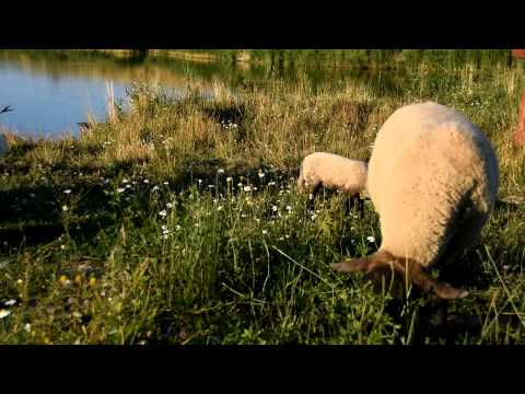 Suffolk sheep breed and polish tartra sheepdog