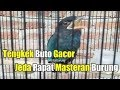 Tengkek Buto Gacor Jeda Rapat Masteran Burung  Mp3 - Mp4 Download