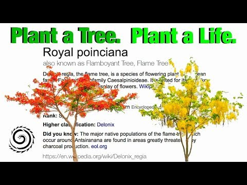 How to Plant & Grow the Flamboyant Tree from seed to baby tree.