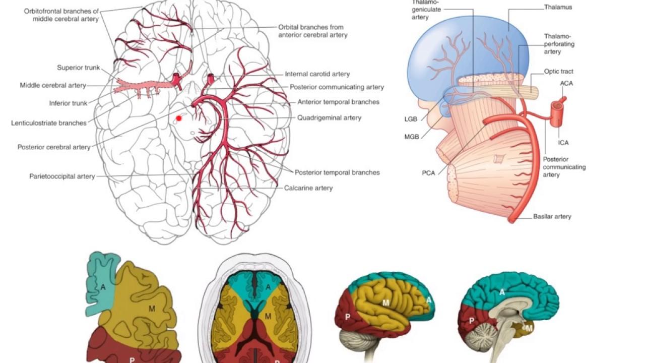 The posterior cerebral arteries - YouTube