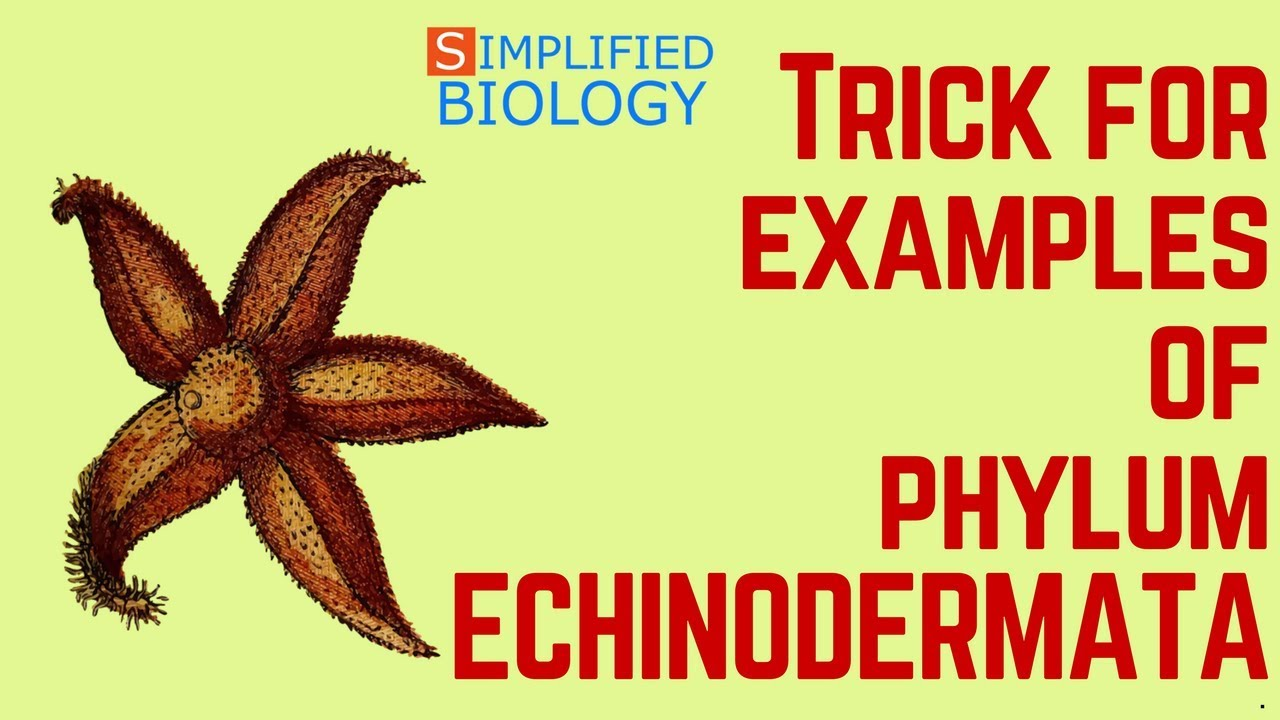 Trick For Examples Of Echinodermata Characteristics For Neet