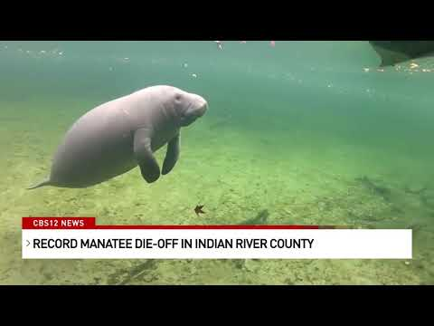 Urgent-push-for-state-of-emergency-after-nearly-800-Florida-manatees-died-in-just-6-months