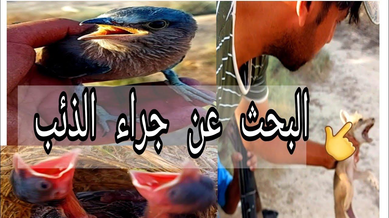 رحلة البحث عن جراء الذئب العربي في الطبيعه