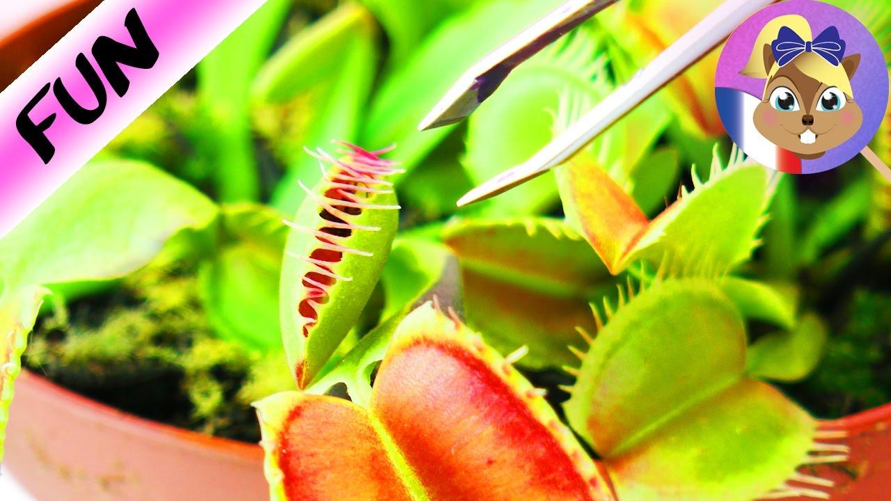 plante carnivore qui mange une mouche la v nus tombe mouches se referme youtube. Black Bedroom Furniture Sets. Home Design Ideas