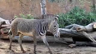 Zebra after rain 雨上がりのシマウマくん🦓 ロスアンゼルス動物園.