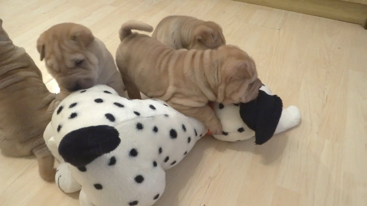 Shar Pei Puppies Playing With Plush Toy Dalmatian Puppy Youtube