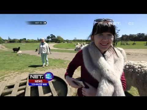Hewan Ternak Sebagai Minat Wisata di Selandia Baru - NET12