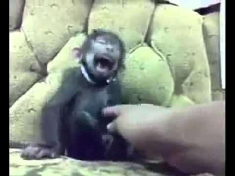 Monyet Ketawa