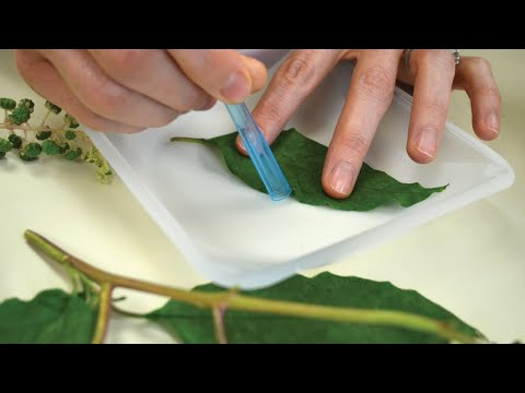 DNA Barcoding Part III: DNA Sequencing and Species Identification