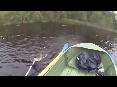 Упустил счастье: гигантская щука утопила рыбака вместе с