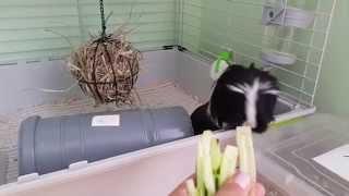 Морские свинки (коронет) и огурцы - Guinea pigs and cucumbers