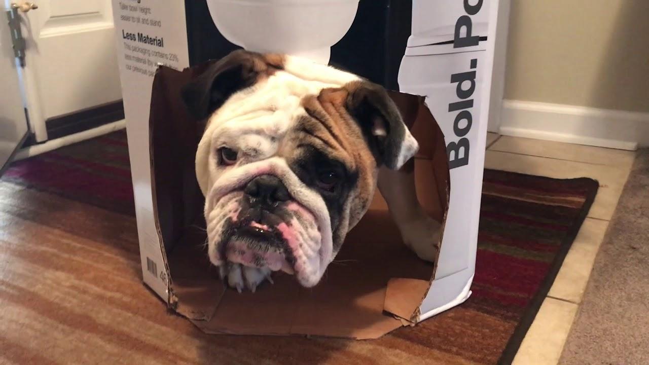 reuben-the-bulldog-dog-in-a-box