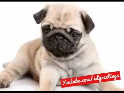 A Special Pug Happy Birthday Song Just For You
