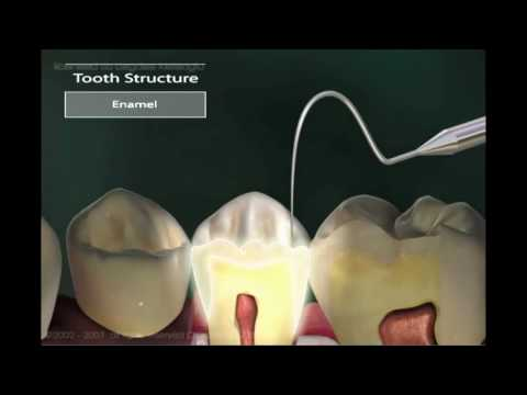 oral anatomy   The adult human teeth & anatomy of mouth