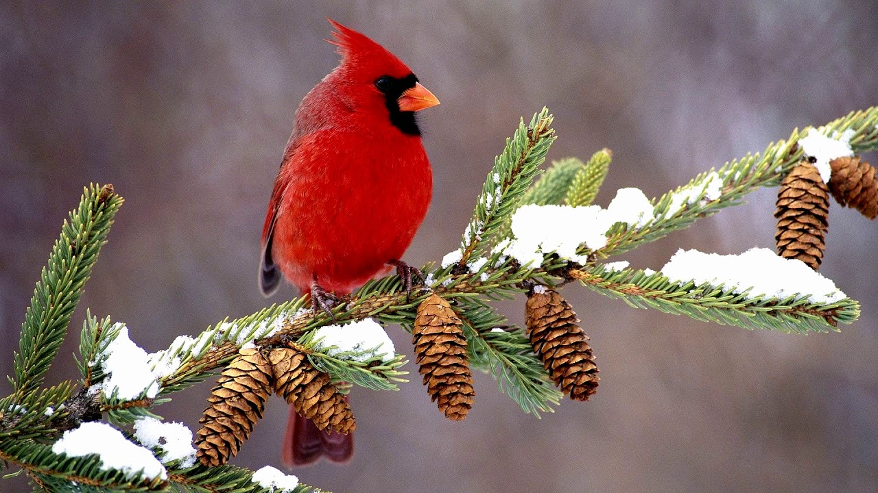 Image result for cardinals in the snow