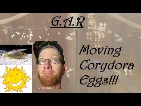 How To Move Corydora Eggs Very Simple Method Of Transfering Cory Catfish Eggs Between Aquariums