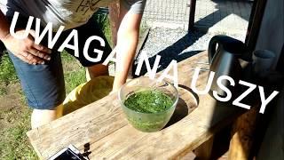 Warzywa w małym ogrodzie -  Skrzyp polny super środek na mączniaka? #bezchemi