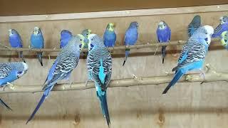 Вольер для волнистых попугайчиков.Особенности обустройства вольера и его основные характеристики