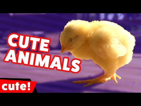 Funniest Pet & Animals Outtakes & Moments Caught On Tape Weekly Compilation   Kyoot Animals