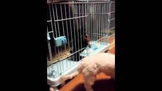 子犬ヨークシャーテリア『行かないで~』(笑) 【激萌え動画】お腹丸出し...