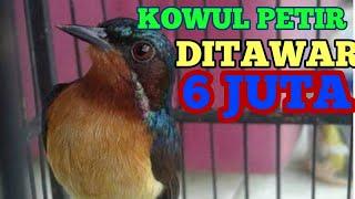 Download Mp3 Pikat Kolibri Wulung Kolibri Muncang  Gacor Prestasi  Masteran Kowul Jernih Suar