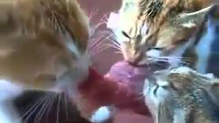 Коты отчаянно сражаются за еду!Смотреть всем1