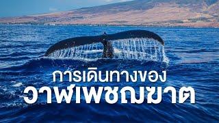 สารคดีสำรวจโลก ตอน การเดินทางของวาฬเพชฌฆาต