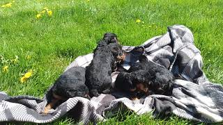 ClaraIroh 4/8/21 welsh puppies 3 weeks old 1 MALE STILL AVAILABLE!