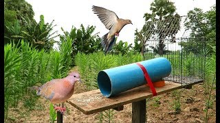 How To Make Bird Trap Using Cage Bird Trap With PVC - Awesome Quick Cage Bird Trap That Work 100%