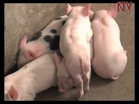 High pork consumption attracts Shs2.5 billion piggery investment