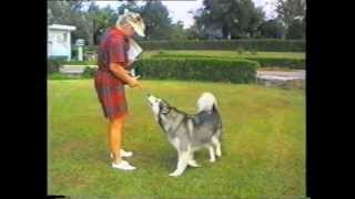 Alaskan Malamute Dog Trained In Obedience, Tricks, Backpacking & Agility Μαλαμούτ Αλάσκας
