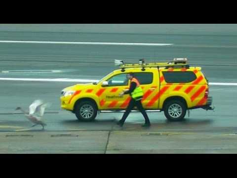 SWAN ON RUNWAY! Delays 20+ aircraft at Heathrow Airport!