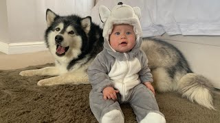 Surprising My Giant Malamute Dogs With A Baby Husky (CUTEST BABY EVER!!) (Bonus Milo Footage)