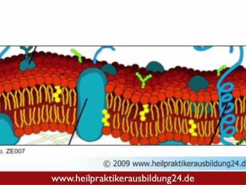 Die Osmose - ein Stoffaustausch der Zellen Teil 1 in Der Heilpraktikerausbildung