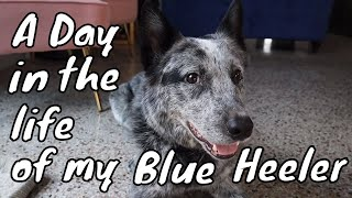 A Day in the Life of My Blue Heeler   A Day in the Life of an Australian Cattle Dog