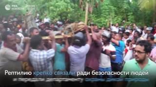 Жители деревни Тибботувава в Шри Ланке поймали крокодила длиной более 5 метров