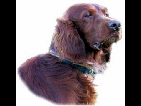 IRISH SETTER - Dog Lovers Guide!