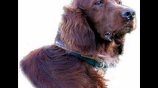 IRISH SETTER - Dog Lovers Guide!